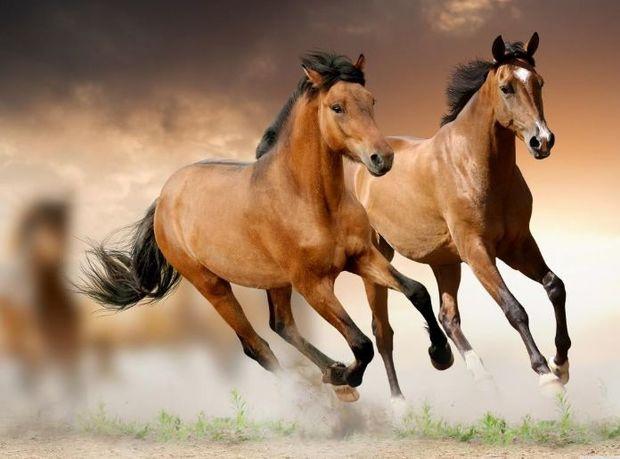 Azərbaycanda Qarabağ atı cinsinin inkişafına pul ayrıldı