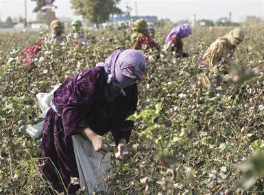 Ölkədə 182 min ton pambıq yığılıb